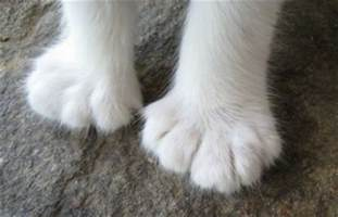 cats with toes american polydactyl cat breed information and pictures