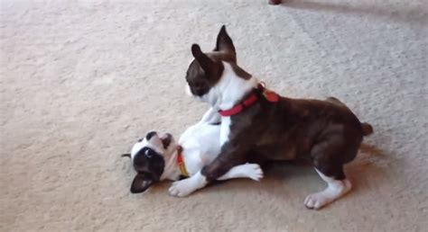 cute boston terrier  frenchton puppies playing video