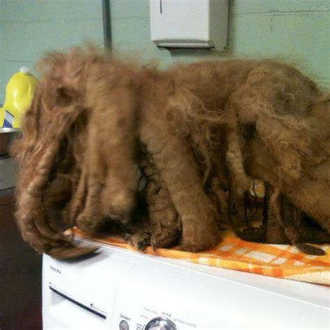 ginger   pound  year  poodle arrived