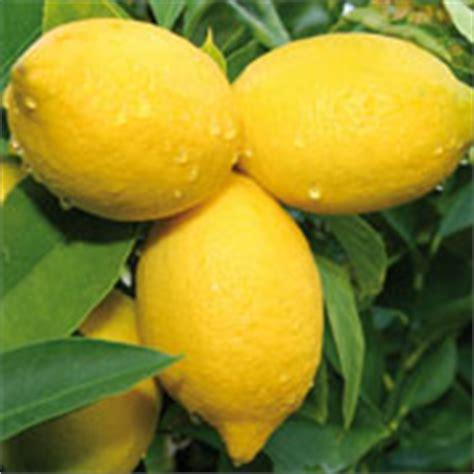 les 12 huiles les plus essentielles l essence de citron citrus limon