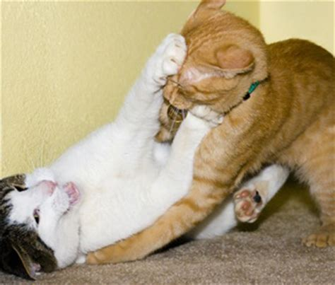 Why are my cats fighting