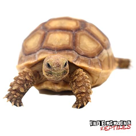 Sulcata Tortoise Bedding by Large Baby Sulcata Tortoises For Sale Underground Reptiles