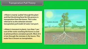 Transpiration Pull Theory