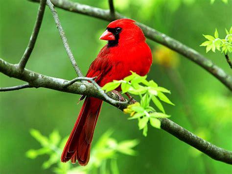 bird desktop wallpaper beautiful cardinal bird