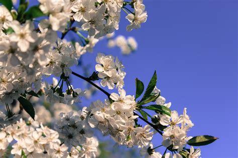 Free Images : tree branch sky flower petal food