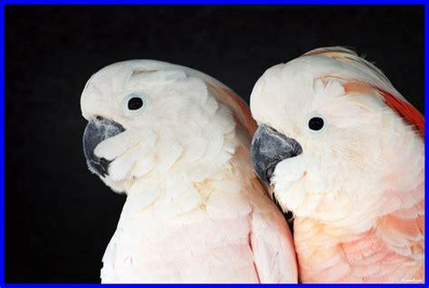 moluccan cockatoo moluccan cockatoo