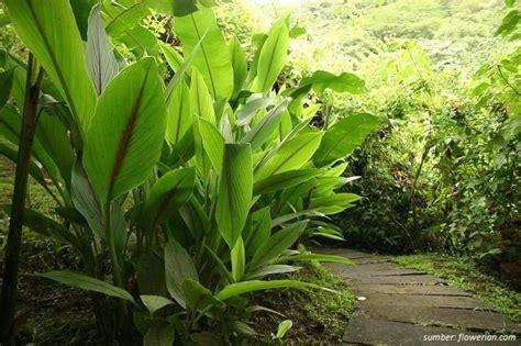 tanaman herbal  pekarangan rumah  bisa jadi obat