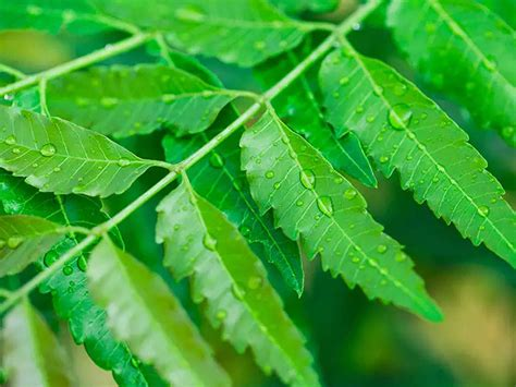 What Is Neem Leaves