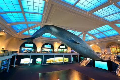 American Museum Of Natural History Whale Wwwpixshark