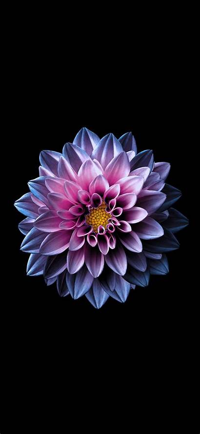 Lotus Iphone Flower Flowers Samsung Cool Wallpapers