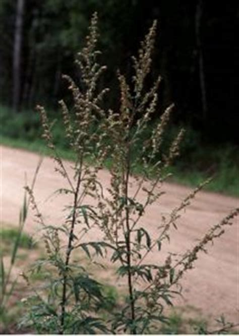 parastā vībotne - Artemisia vulgaris L. - Augi - Latvijas daba