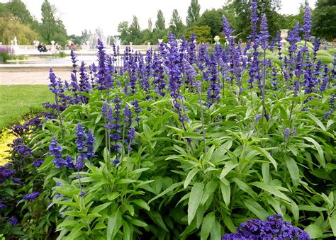blue salvia common blue sage texas violet meaycup sage family labiatae formerly lamiaceae the mint family