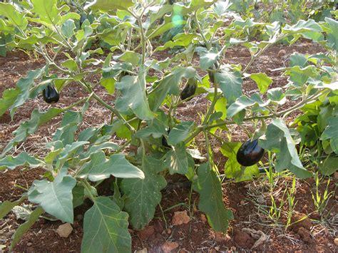 chambre d agriculture ile de aubergine le jardin de kupaia