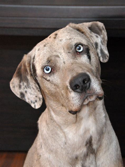 louisiana catahoula leopard dog diary
