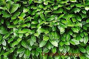 Immergrüne Hecke Pflegeleicht : 10x kirschlorbeer caucasica 140 160 sehr frosthart immergr ne hecke ebay ~ Markanthonyermac.com Haus und Dekorationen