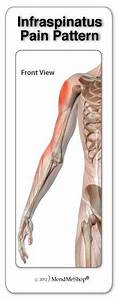 The Infraspinatus Muscle Is Located At The Back Running