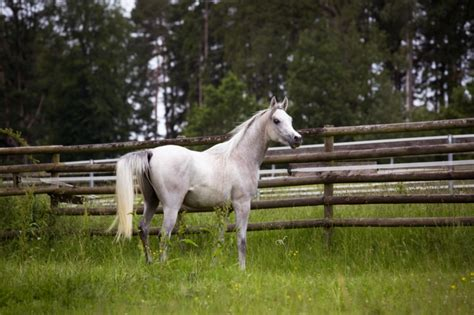 Gray Horse Rearing Images