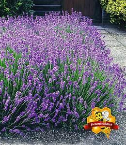 Lavendel Pflanzen Im Topf : lavendel hecke 39 blau 39 online kaufen bei baldur garten ~ Michelbontemps.com Haus und Dekorationen