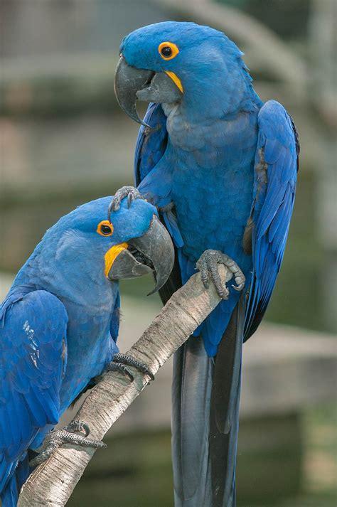 photo   pair  blue parrots  rainforest pyramid