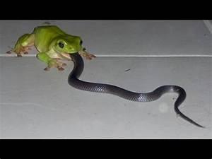 Giant frog eats snake: Uncredible !!!!!! - YouTube