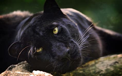 Panther Animal Wallpaper - black panther hd wallpaper and background image