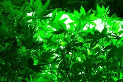 Weed Trippy Marijuana Rasta Cannabis Psychedelic 420