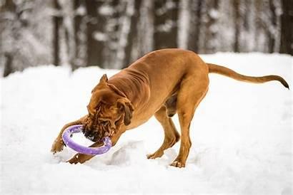 Fila Brasileiro Breed Dog Health