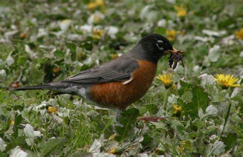 american robins virtual habitat