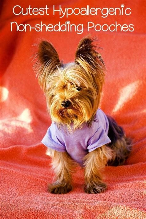 cutest non shedding small dogs hypoallergenic small dogs for adoption breeds picture