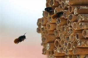 Tiere Im Insektenhotel : geh rnte mauerbiene osmia cornuta am insektenhotel foto bild tiere wildlife insekten ~ Whattoseeinmadrid.com Haus und Dekorationen