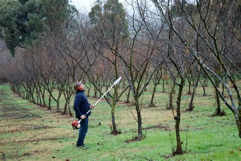 pruning hazel trees australian hazelnut production could increase by more than 2 000 the clipper