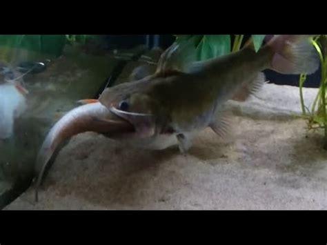 poisson chat d aquarium poisson chat ogre avale un autre poissson
