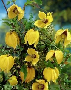 Clematis Pflanzen Kübel : gold waldrebe clematis tangutica mongolische waldrebe pflanzen blumen ~ Orissabook.com Haus und Dekorationen