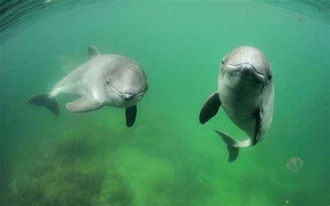 porpoises  derail worlds biggest offshore wind farm