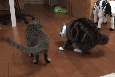funny animated kitty cat gifs   animations