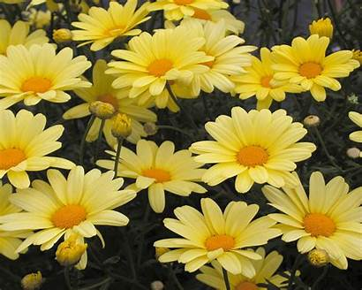 Flowers Wallpapers Daisy Marguerite Chrysanthemum Yellow Butterfly