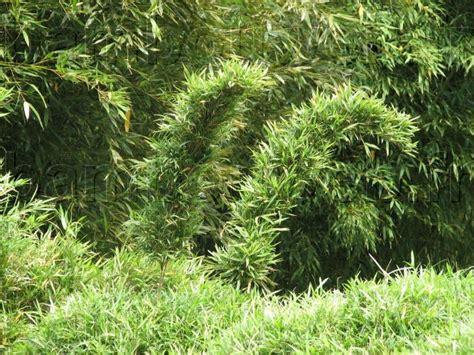 bambouweb fr culture du bambou