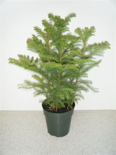 norfolk island pine kirkland nurseries llc norfolk island pines