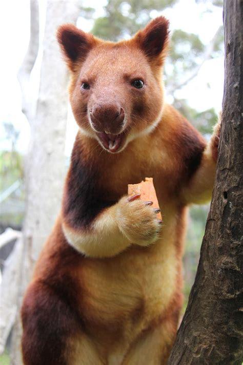 les kangourous arboricoles existent  vous serez
