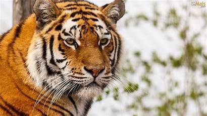 Tiger Tigre Siberiano Parede Papel Wallpapers Cara