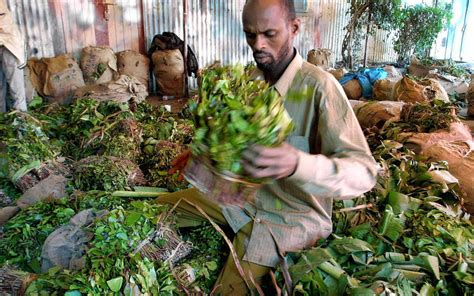 khat thrives  independent somaliland high times