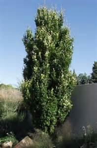 Tall Hedge Columnar Buckthorn Shrub