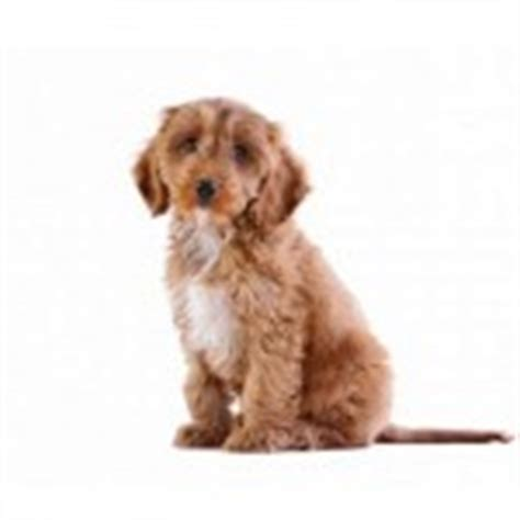 Do Cockapoo Dogs Shed Hair by 2013 Archives Cockapoo Club Usa