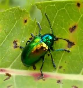 Metallic Green Beetle Identification