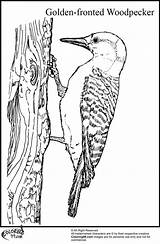 Woodpecker Coloring Pages Golden Fronted Colors Cartoon Looks Head sketch template