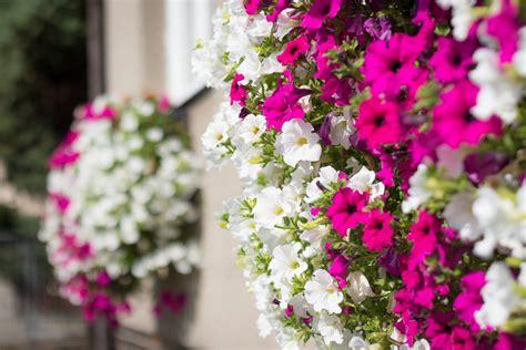 Huaesin pianta finta cadente 3.4 ft piante. Piante ricadenti: le varietà più belle e facili da coltivare