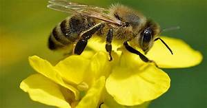 Why Are Bees Going Extinct