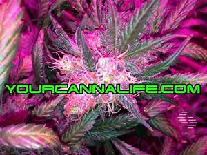 WHY ARE CERTAIN STRAINS OF CANNABIS PURPLE OR PINK ...