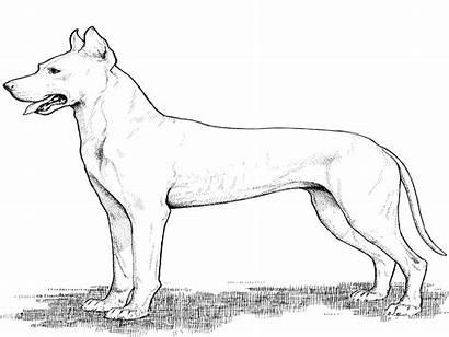 Coloring Dane Puppy Dog Horse Worksheetschool Adult