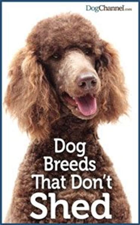 Large Breeds That Dont Shed by Best 25 Non Shedding Dogs Ideas On Non